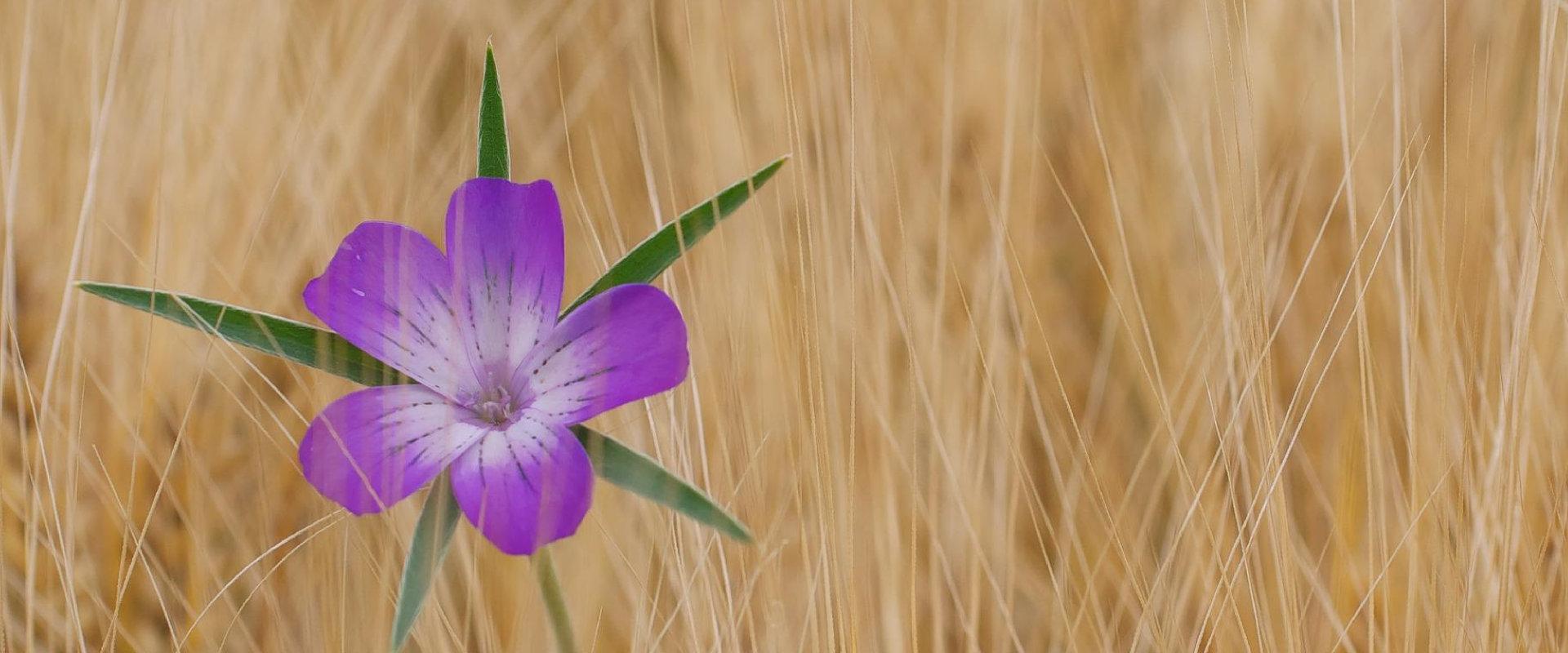 Blume im Kornfeld